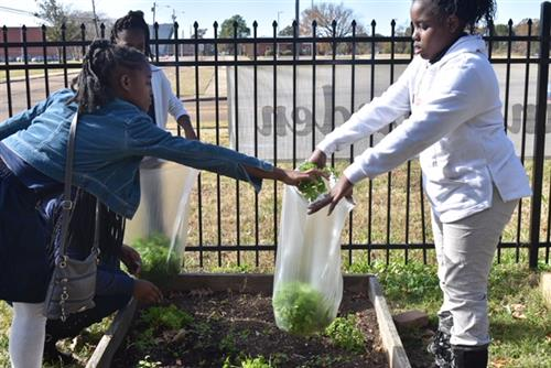 Students package greens they harvested from their garden. They spent months watering the crops and clearing weeds.